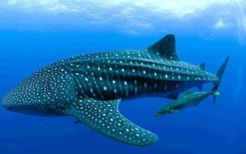 4月29日蚂蚁庄园小鸡宝宝答题 目前世界上最大的鱼类是什么鱼A:鲸鲨B:锦鲤