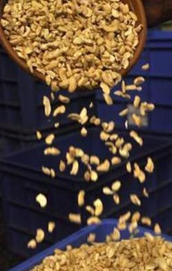 喀拉拉邦农业大学开始销售新的腰果加工产品
