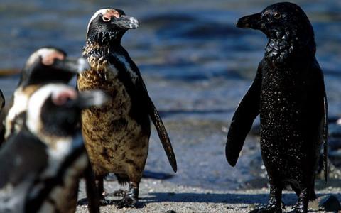 非洲有企鹅吗 小鸡宝宝8月25日问题